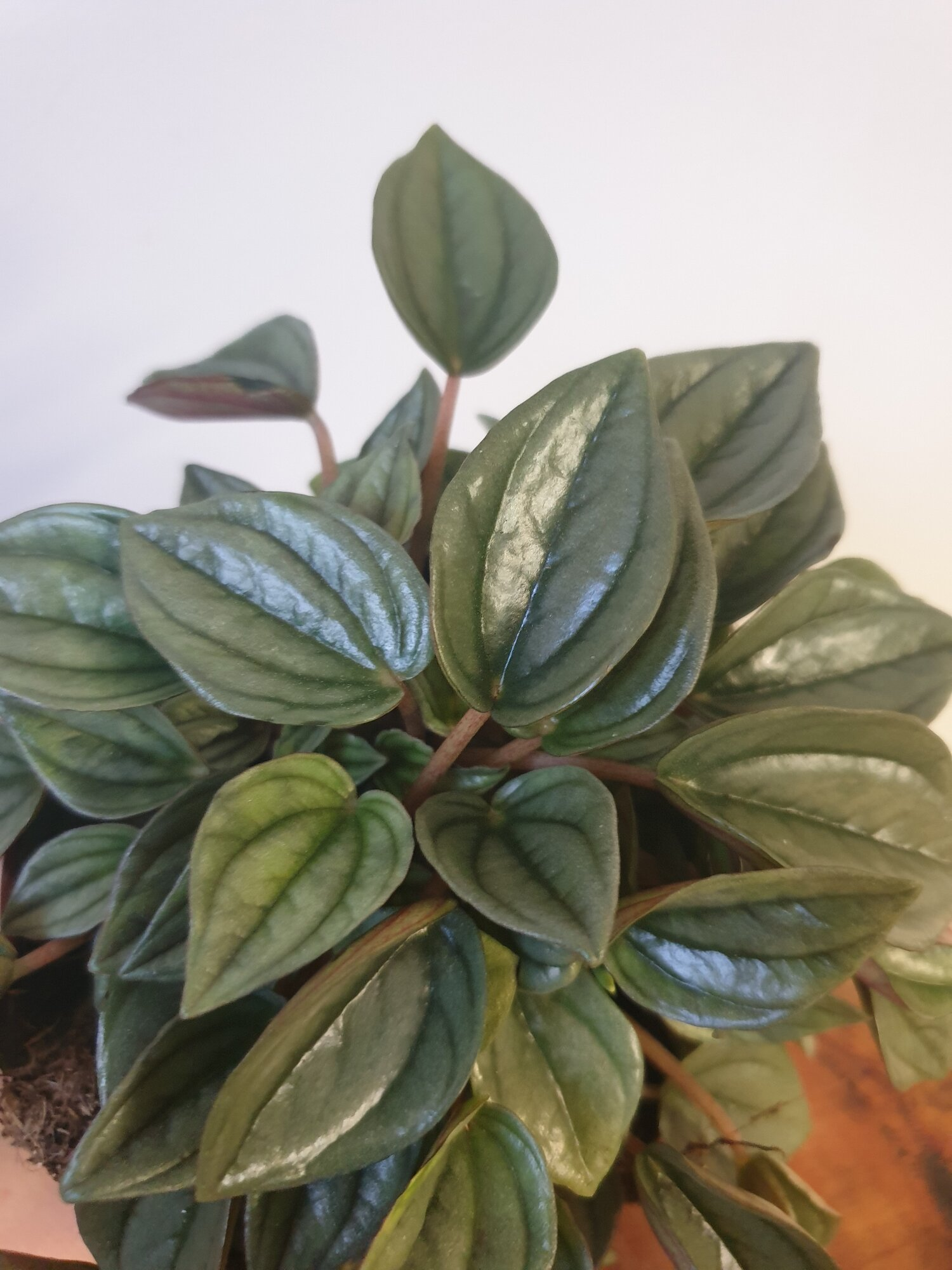Peperomia Napoli Nights 120mm Mae Thorani Plants