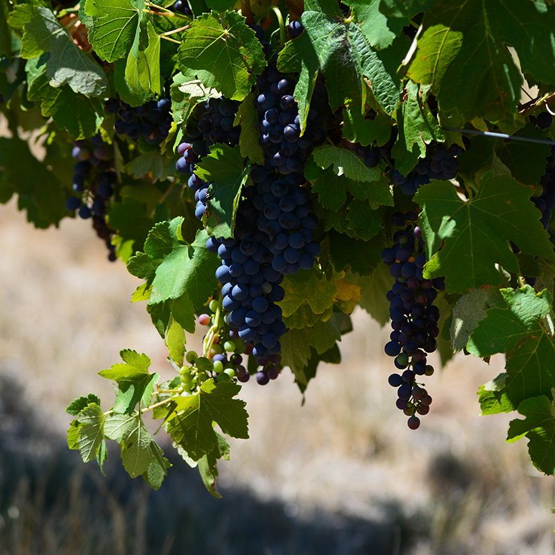 RED-GRAPES-web.jpg