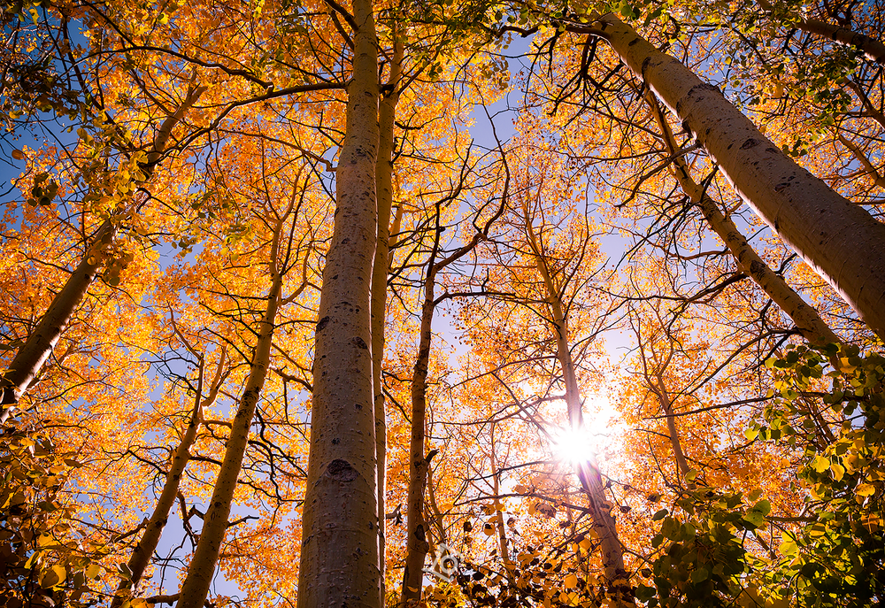 Fall Foliage | Aspen Trees