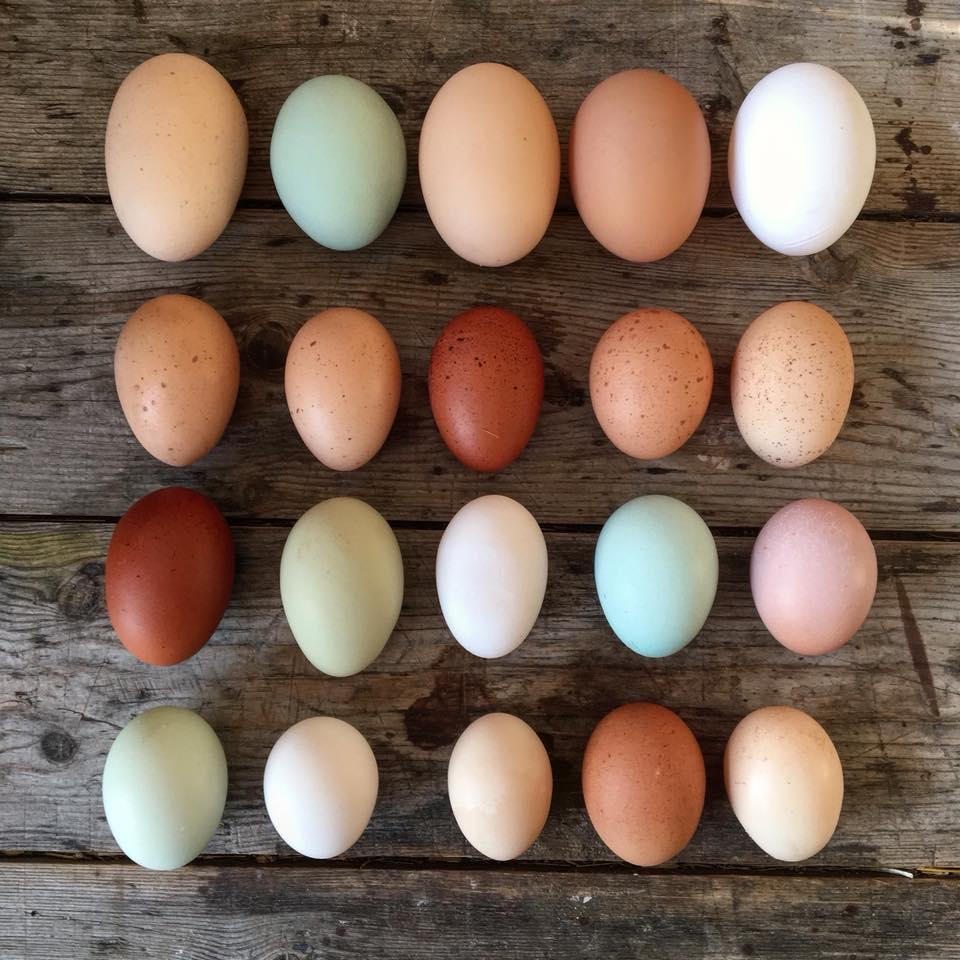"""""""Man er så fokuseret på, hvilken høne der giver mest kød og lægger flest æg, men man har aldrig spurgt sig selv, hvilken høne, der giver det bedste kød og lægger de bedste æg? Det synes jeg er en ærgerlig prioritering"""" - — Johanne Schimming"""