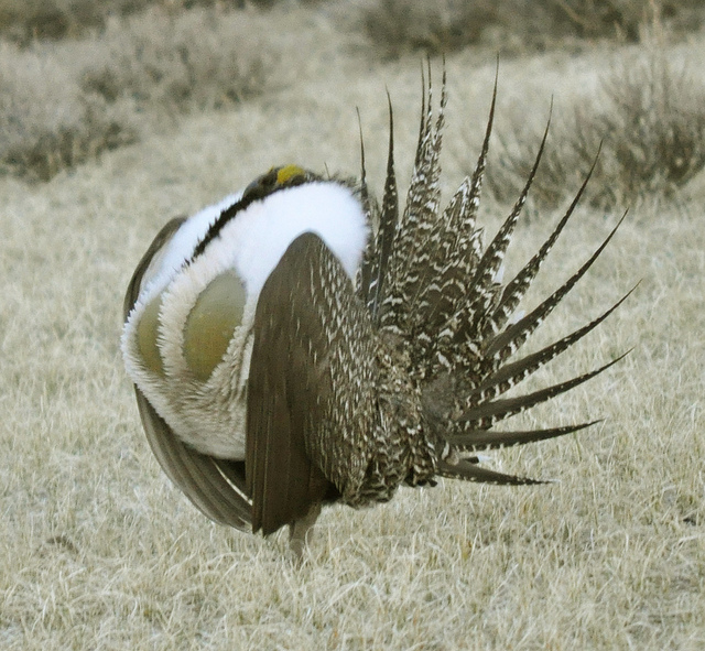 sage-grouse-pacific-southwest-region-usfws.jpg