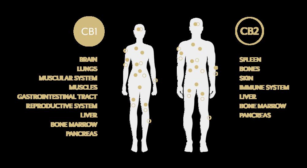 CBD_system.png