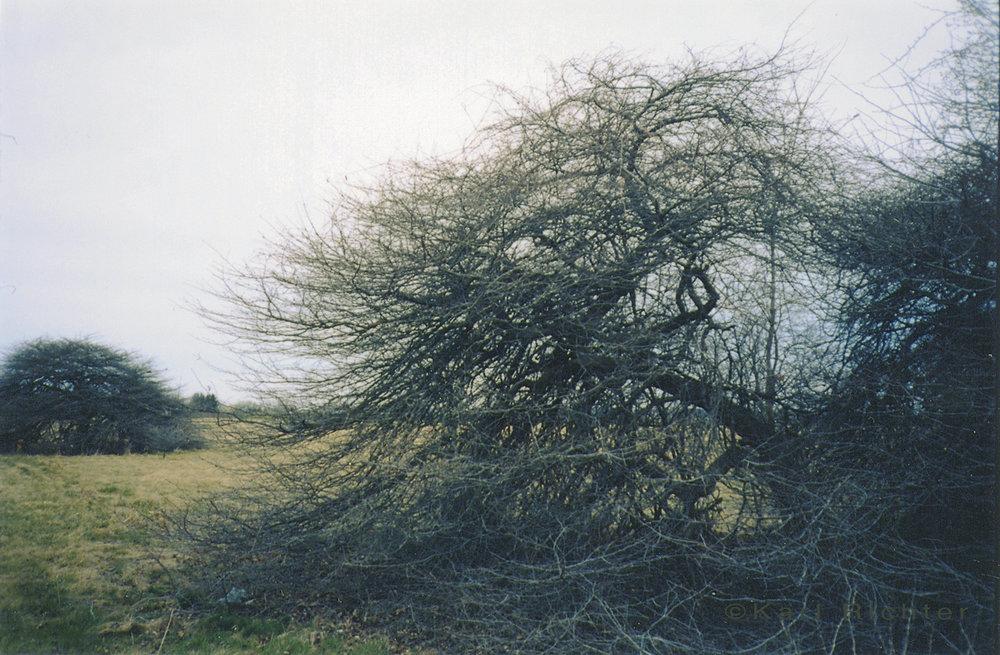 niagara bushes1.jpg