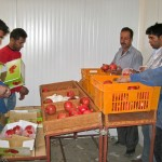 Inspecting and packing pomegranates