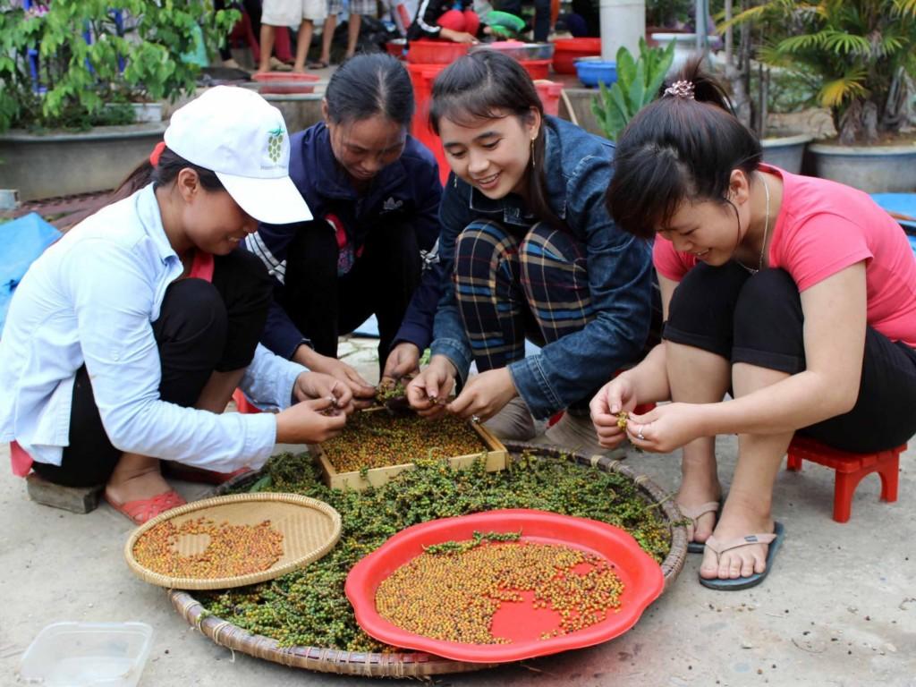 Hand-sorting ripened black pepper
