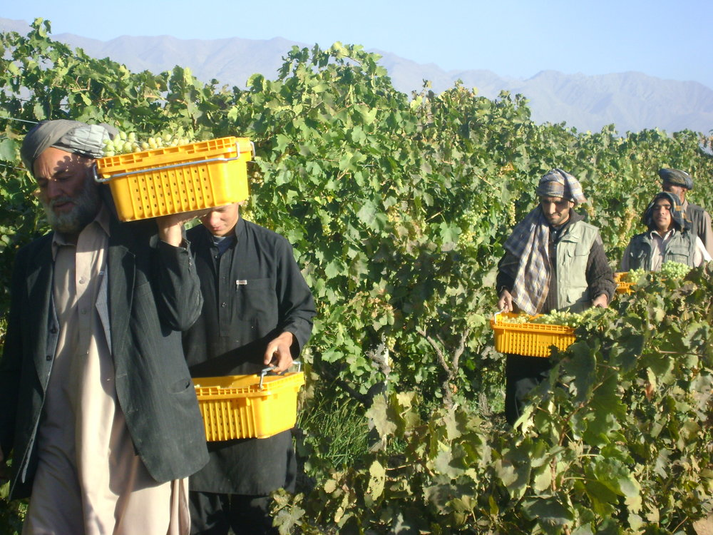 Roots-of-Peace-ROP-agriculture-Afghanistan-CHAMP-grape-trellising-trellis-harvest.JPG