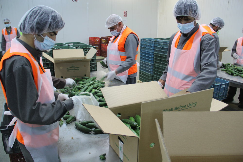 Roots-of-Peace-ROP-agriculture-Afghanistan-cucumber-facility-packaging-pack-house-export.jpg