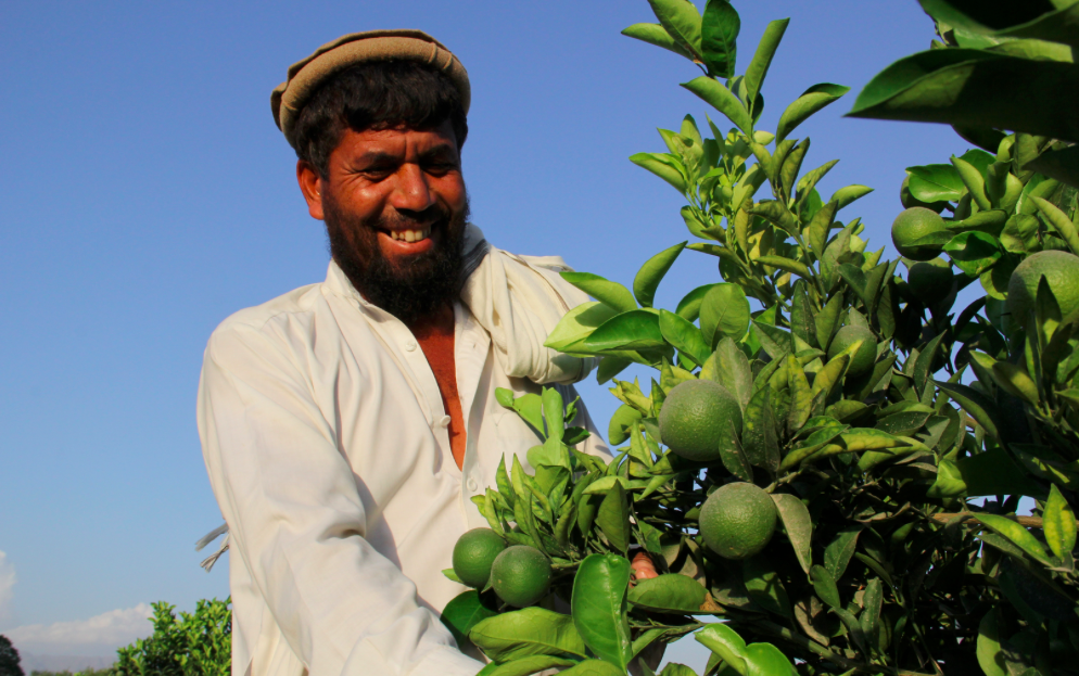 Roots-of-Peace-ROP-agriculture-Afghanistan-citrus-farmer-CHAMP-smile-lime-orchard.png
