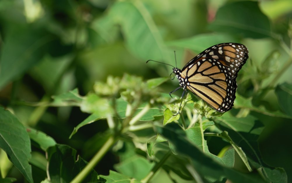 A monarch poised on milkweed. Photo by Debbie Foster.