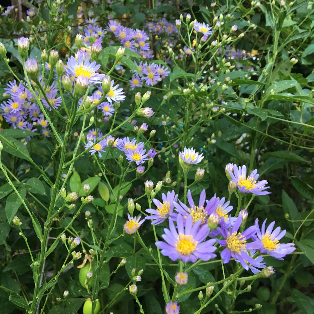 Native asters to brighten a humid day.
