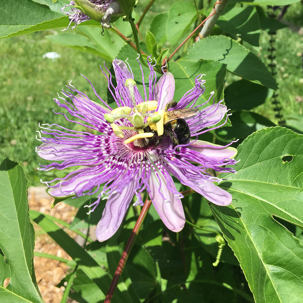 Native plants attract all types of pollinators.
