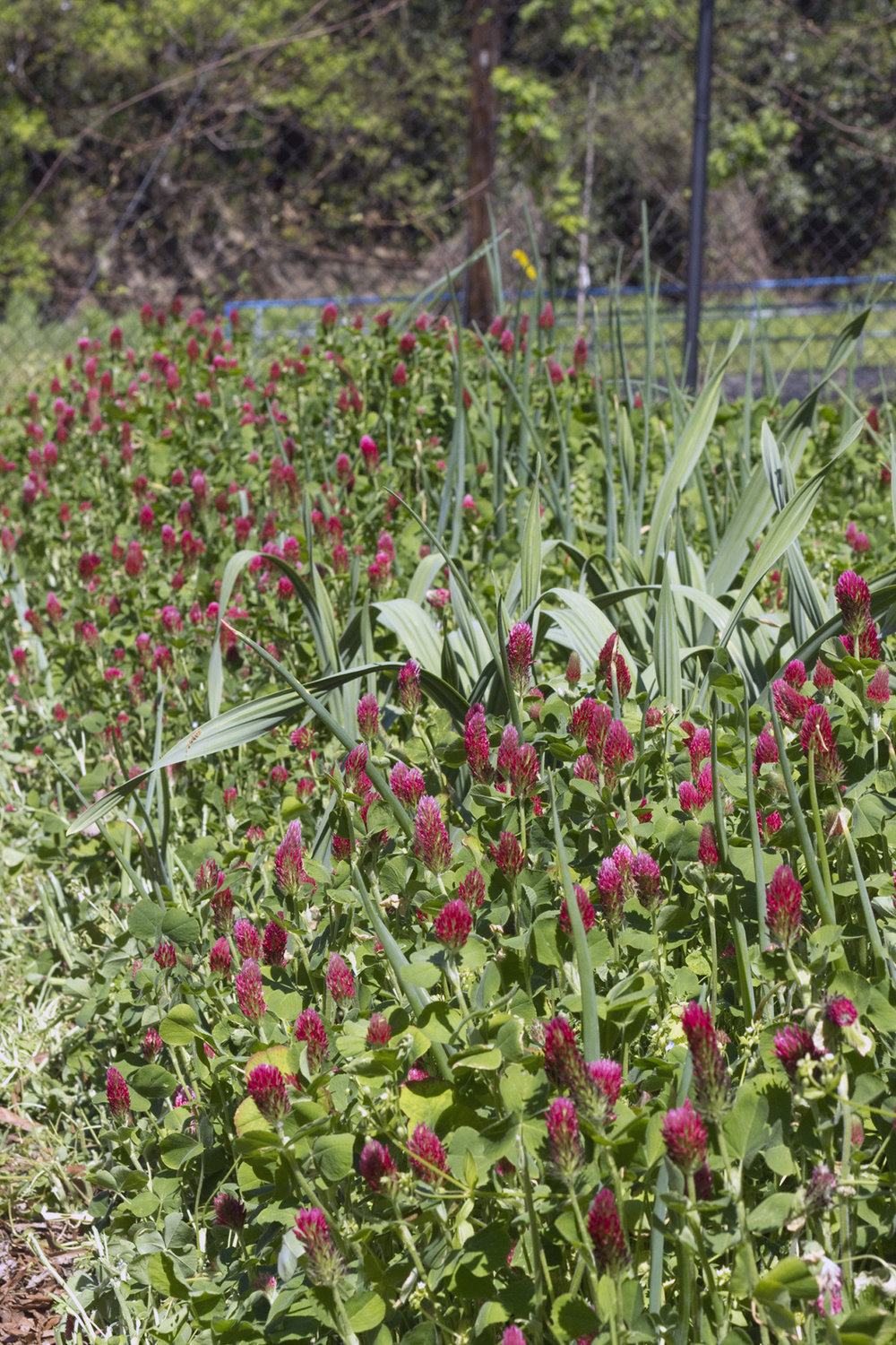 Cover crops feed the soil, attract beneficial insects, and look pretty, too!