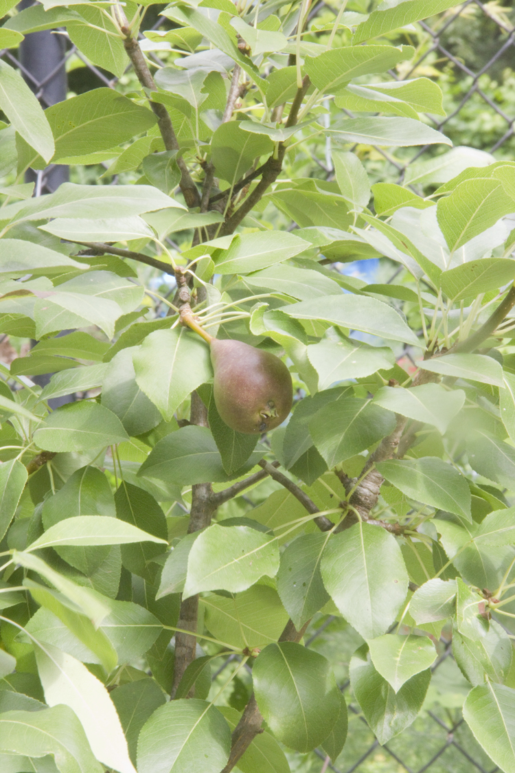 Fruit trees provide shade, their flowers attract pollinators, and the fruit fills our bellies.