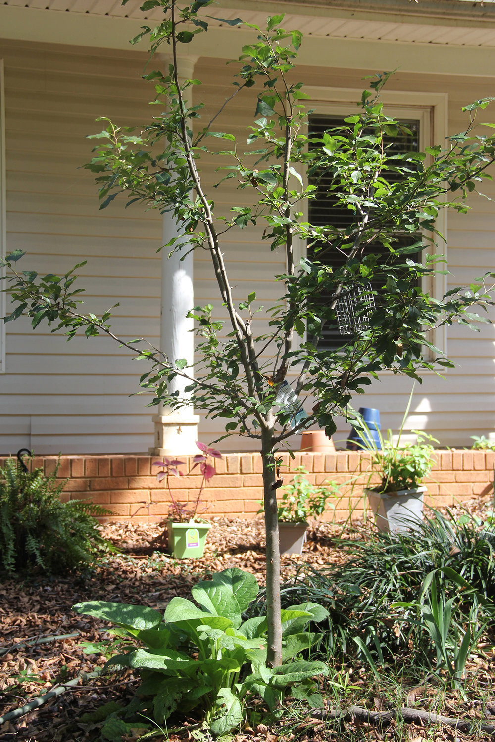 Fruit trees blend seamlessly into yards.