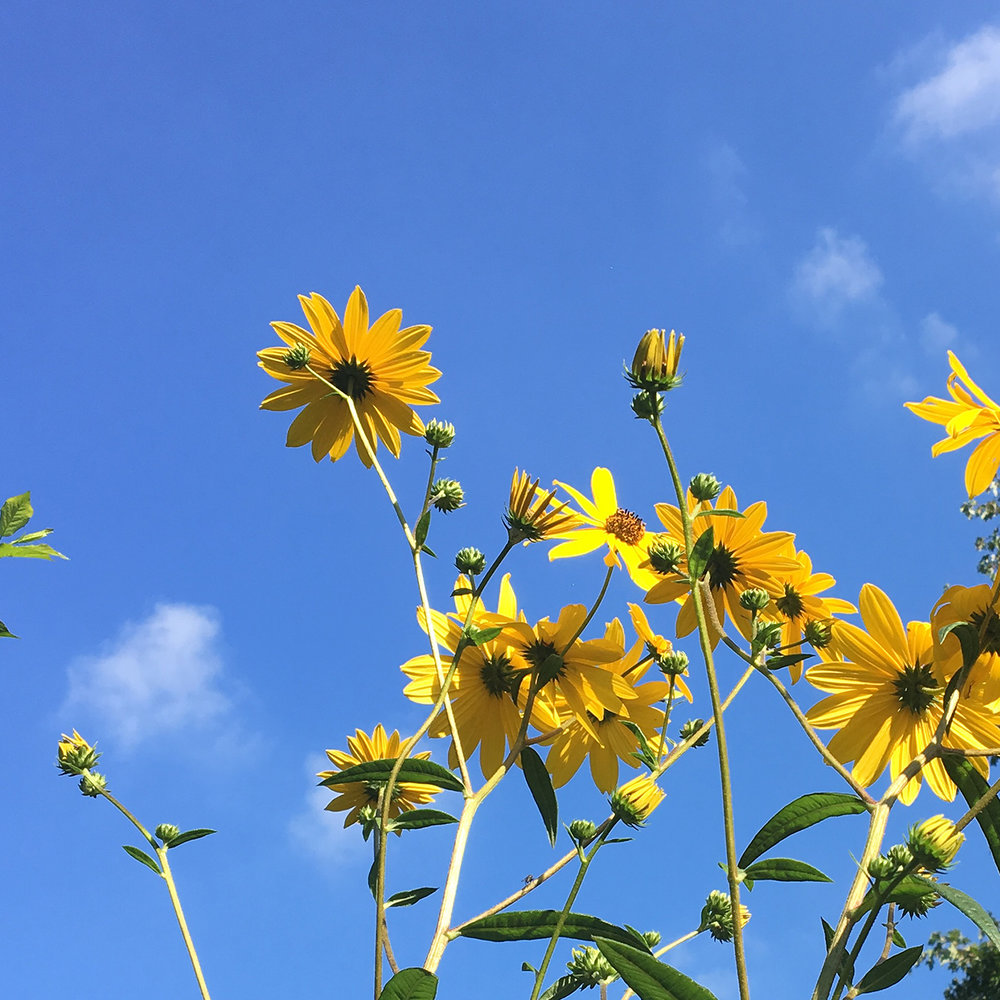 If it's going to be stormy like the current prediction, just stare at these perennial sunflowers in that brilliant sky.