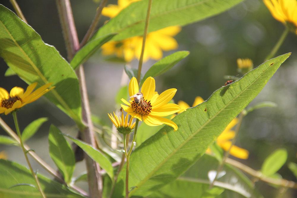 honeybee butt.jpg
