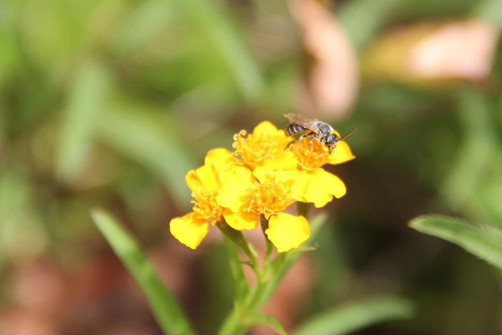 native bee.jpg