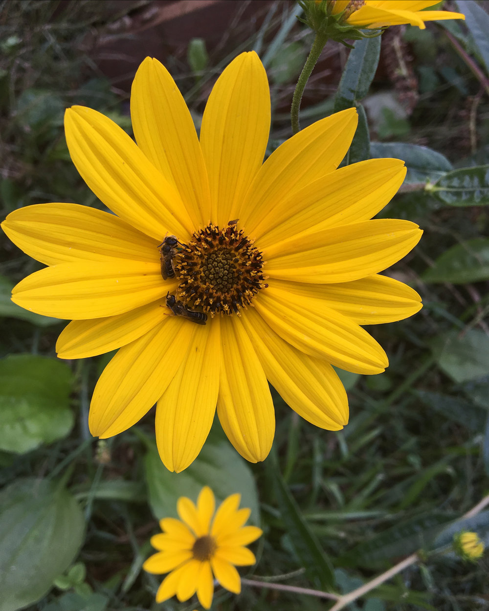 unknown bee.jpg