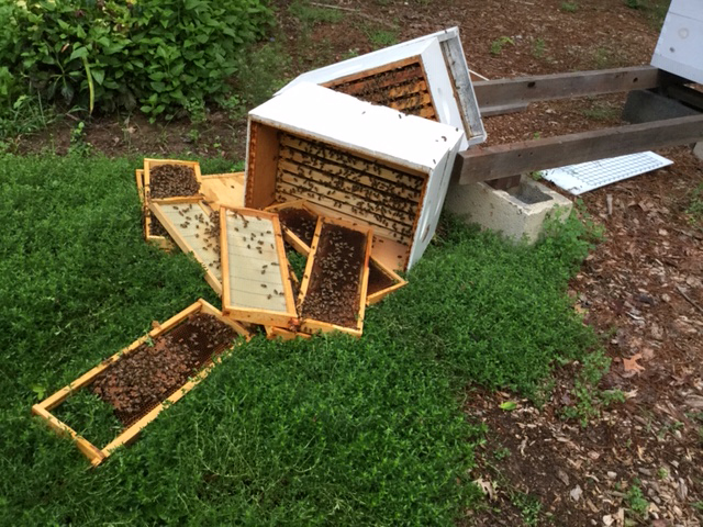 One of the Krauss hives that was possibly toppled by a hungry or curious bear.  Photo by Martha Krauss