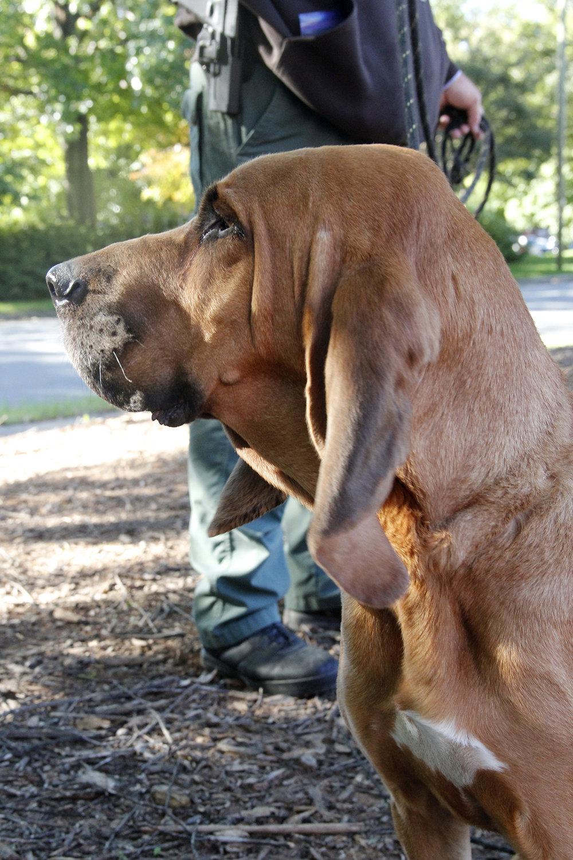 3 bloodhound.jpg