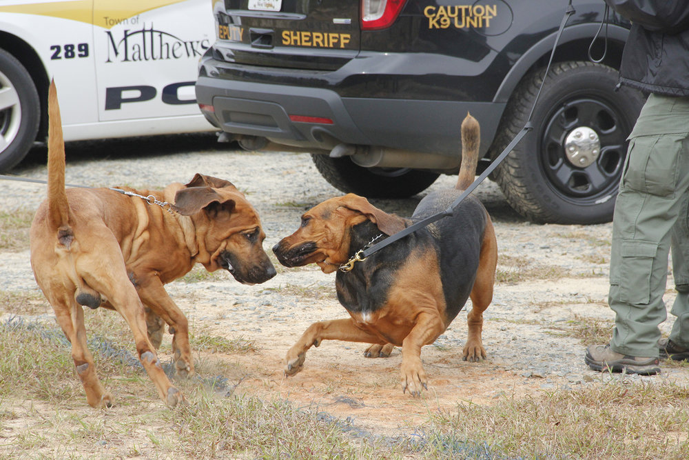 4 bloodhounds playing.jpg