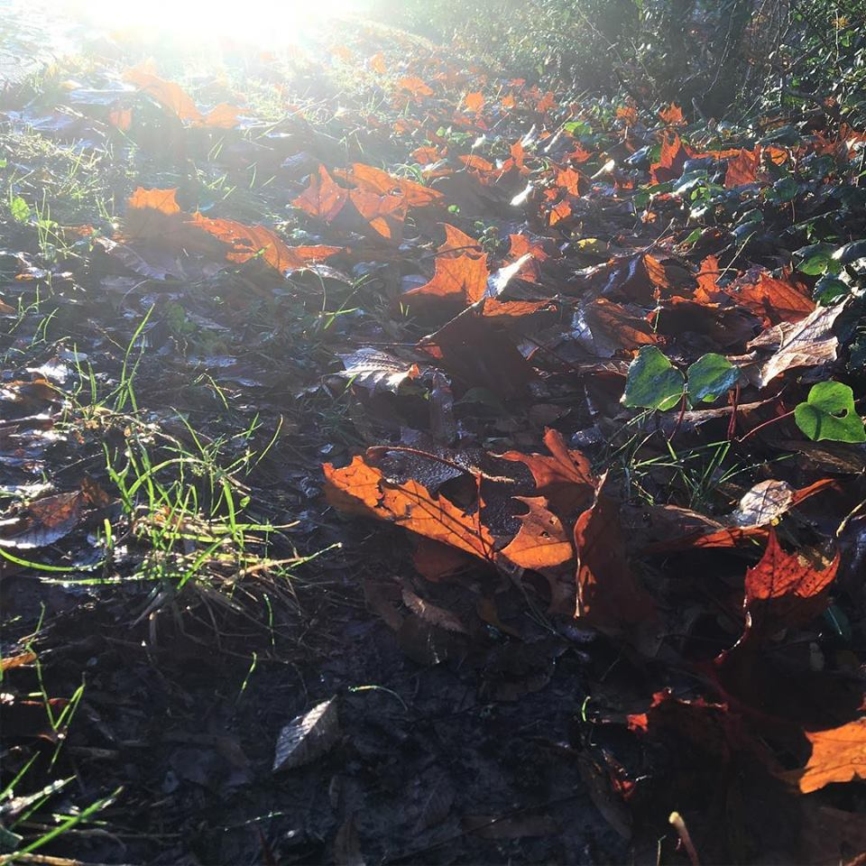 News Around Town: Many of us leave limbs and bagged leaves at the curb for waste pick up. If pick up is delayed or if you have more yard waste than the town's service collects (20 bags per week), you can take it to Compost Central (140 Valleydale Rd., Charlotte). This Mecklenburg County facility accepts leaves, grass clippings, and brush (should be unbagged or in clear or paper bags); clean pallets less than 5' in length; limbs and bamboo less than 5' in length; and logs over 5 inches in diameter. Curbside collection will not accept logs over five inches diameter. Other no-nos include food waste; yard waste with items contaminated with paint, plastic, or metal; tree stumps, large root balls, sod, or dirt. Root balls smaller than a basketball are acceptable. -