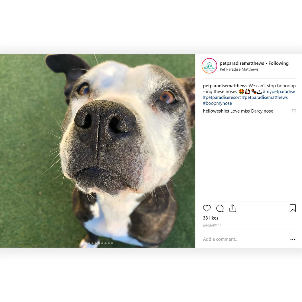 @petparadisematthews: because sometimes a #pitty #noseboop is all you need. -