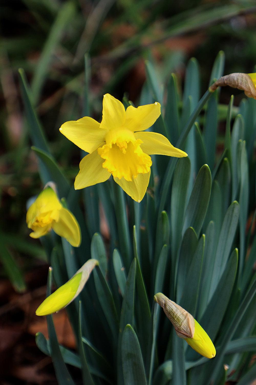 saint davids daffodil.jpg
