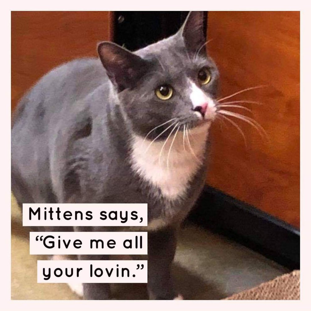 Mittens is a 1-year old male available for adoption through the Greater Charlotte SPCA.