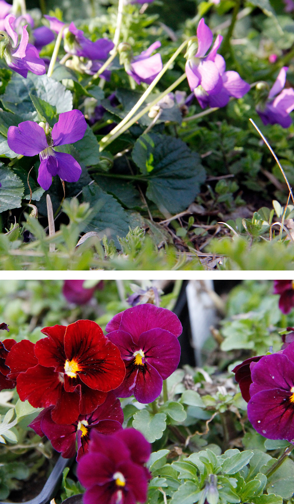 Violets: We've already professed a love for the Violaceae family (violas, pansies, Johnny jump-ups) but right now the wild violets are putting on a spectacular show.Pro Tip: If you don't spray your yard or have dogs peeing on them, go out and collect the leaves and flowers for a wonderful addition to fresh salads. -