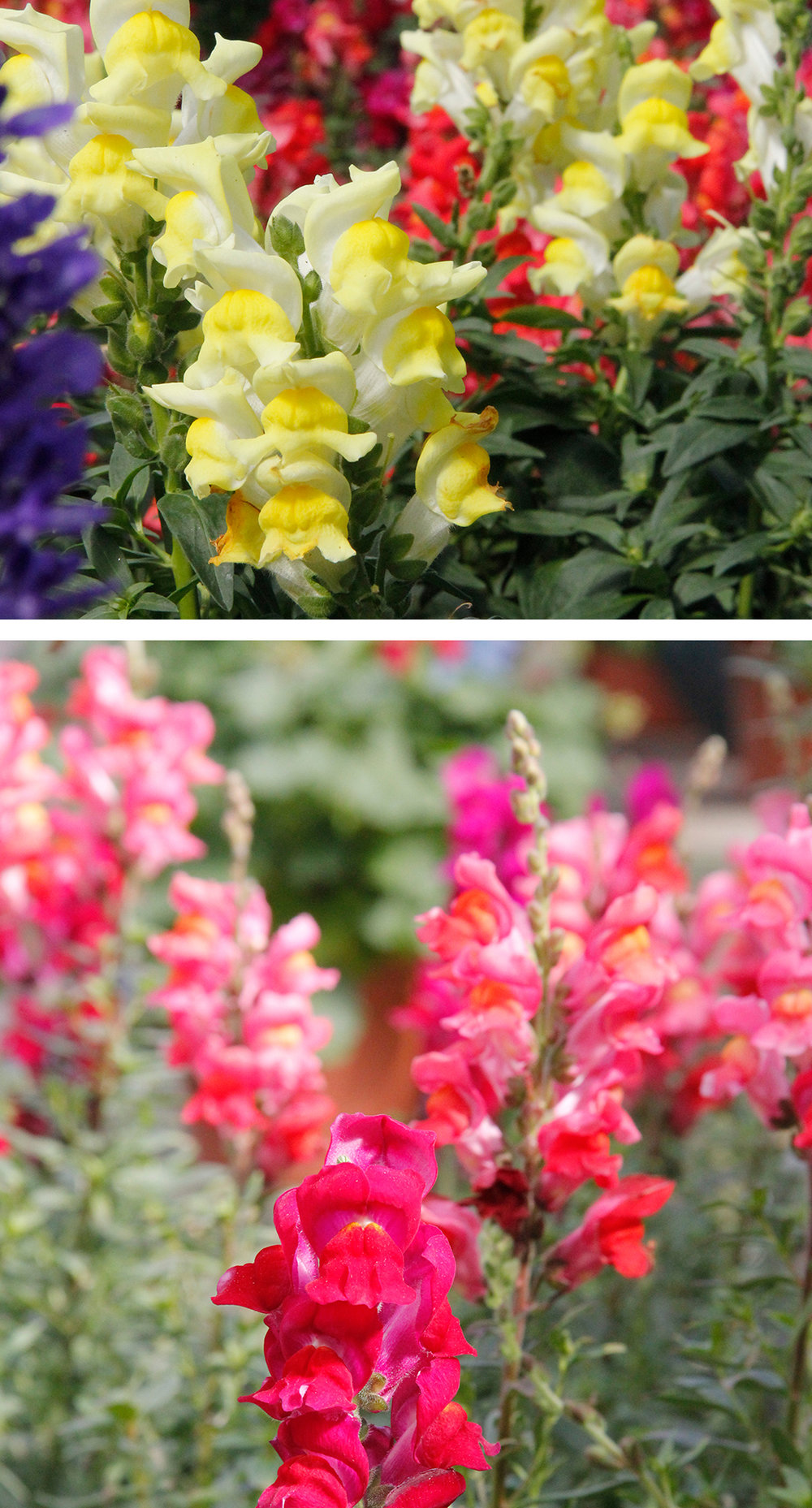"Snapdragons: Not only do snapdragons add color and character to the garden, but the flowers make a gorgeous addition to bouquets for indoor arrangements.Why Grow Them? Snapdragon puppet shows are a favorite pastime for the Burke family, move their ""mouths"" and make them talk! -"