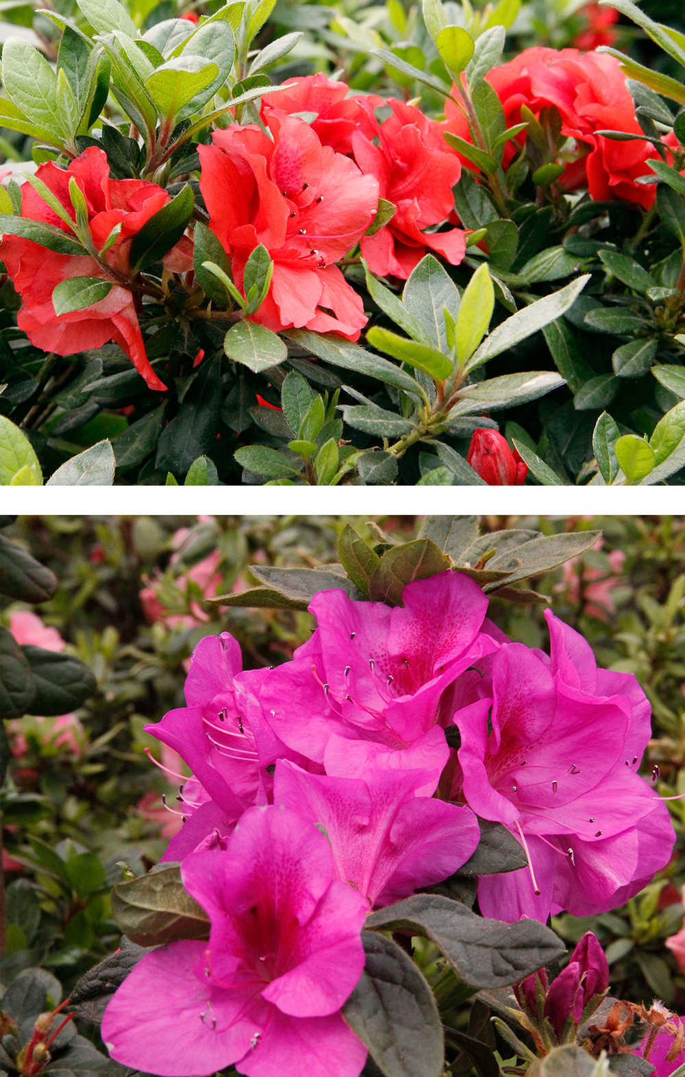 Azaleas: Though the knockout roses have displaced the popularity of the azalea, there's nothing more southern than a fiery hedge of azaleas in full bloom.Try a native variety such as Flame, Pinxter, Smoothleaf, and the rare Plumleaf, which blooms long after other varieties have faded. Carolina Heritage Nursery has several types and is often at the Matthews Community Farmers Market. -