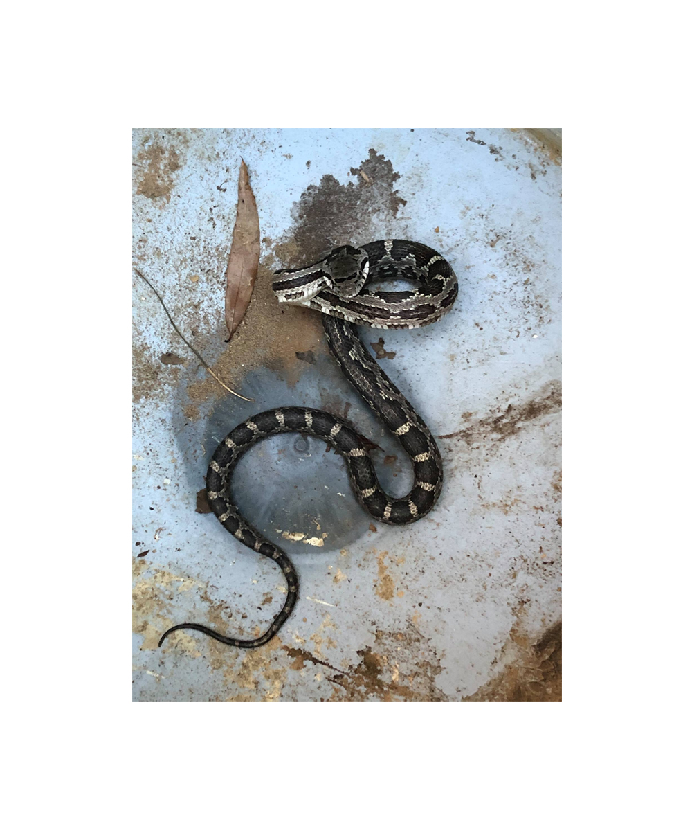 News Around Town: As the weather warms and outdoor activities pick up, so will snake sightings. Many snakes are beneficial to have around, eating mice and other snakes. If you find one in your home or garage that needs removing, Carolina Waterfowl of Indian Trail will come to Matthews and remove it. Text and send a photo of the snake to 704-684-9247 for help. -