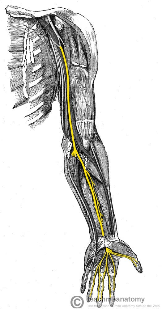 Anatomical-Course-of-the-Median-Nerve-through-the-Upper-Limb.jpg