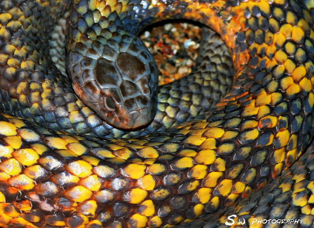 Juvenile Tiger snake