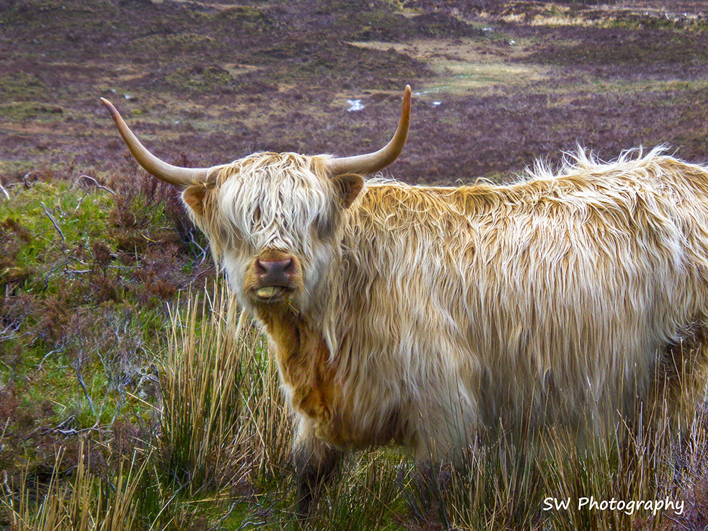 Scottish Highland Cow