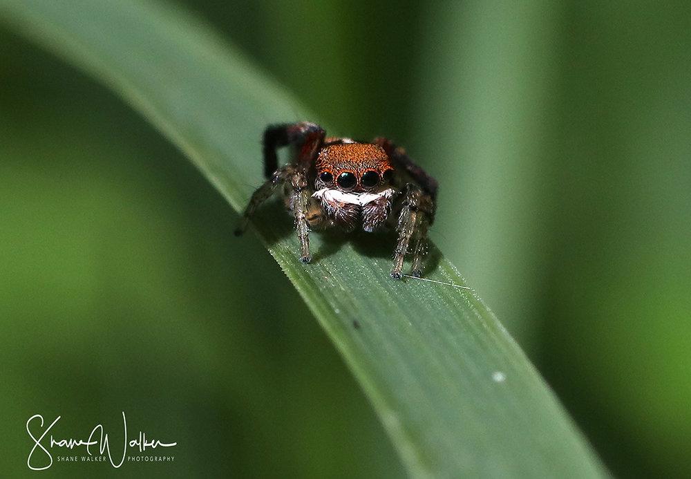 Maratus pavonis - Peacock Spider