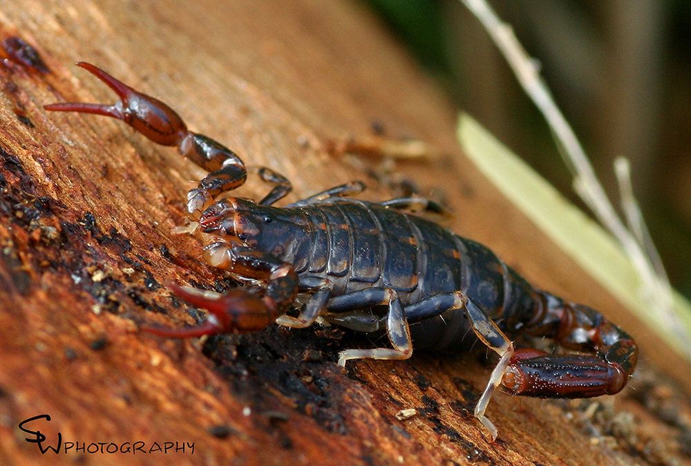 Tasmanian Wood Scorpion