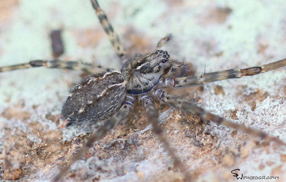 Sombero Spider