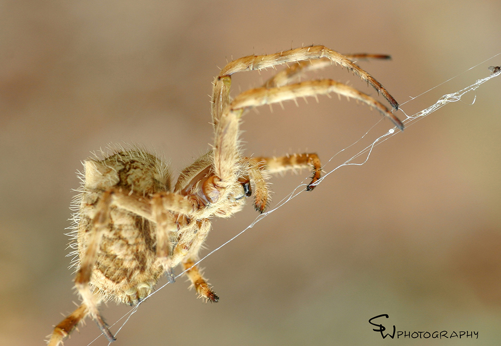 Orb Weaving Spider - Backobourkia heroine female