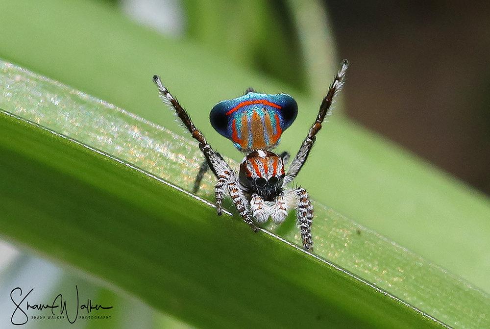 Peacock Spider - Maratus tasmanicus