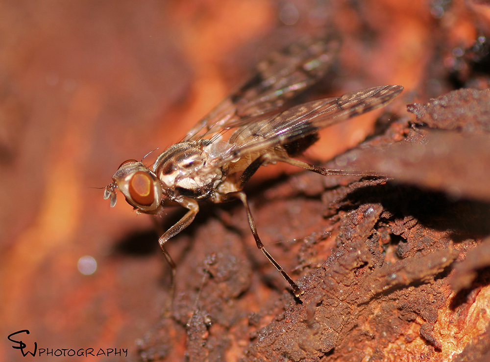 Cardiacera sp. (Female).jpg