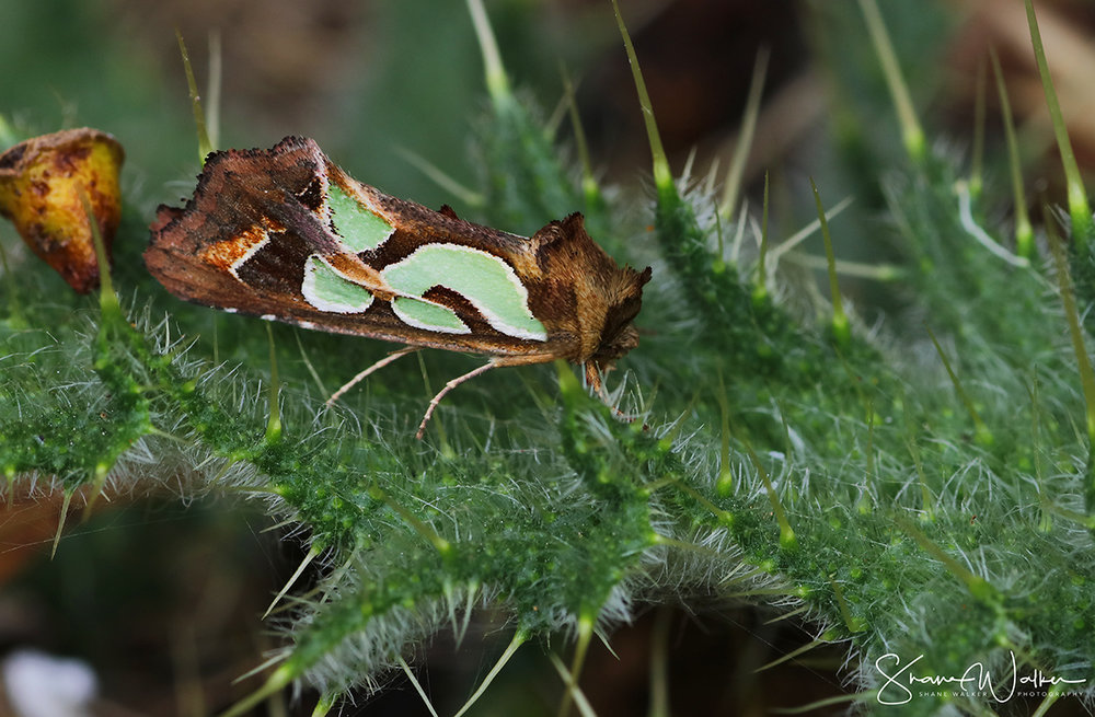 Green Blotched Mothfb.jpg