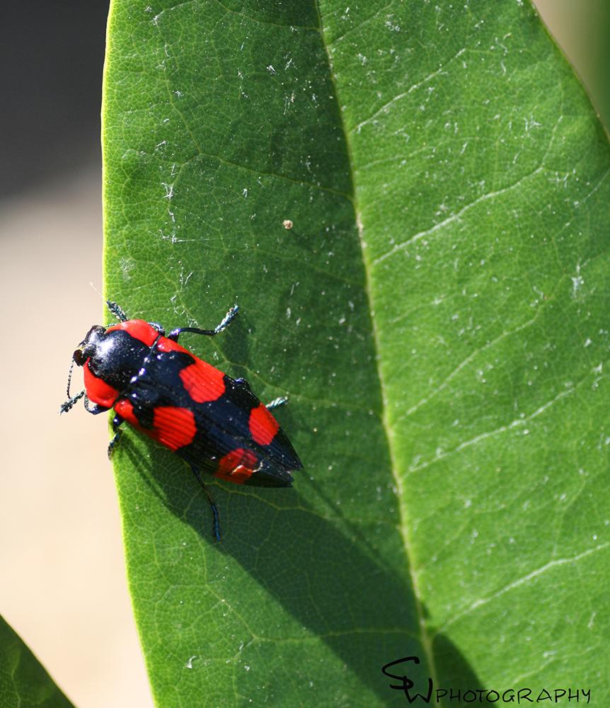 jewel beetlefb.jpg