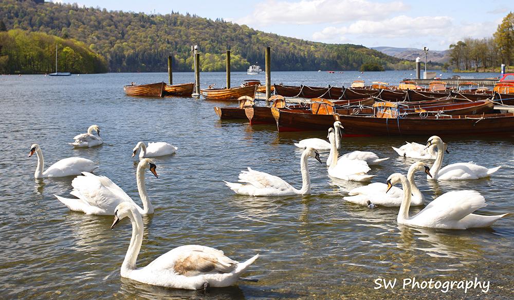 windamere swansfb.jpg