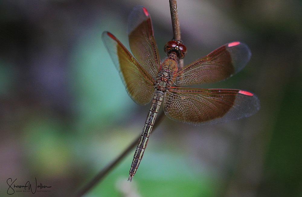 Common Glider Dragon