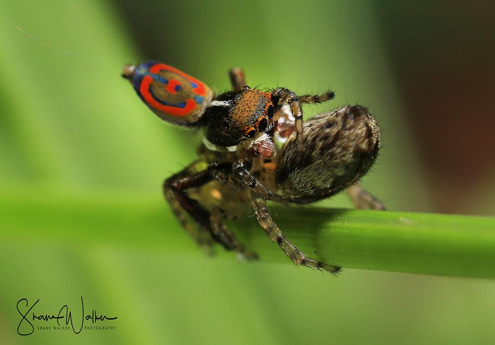 Maratus Pavonis mating