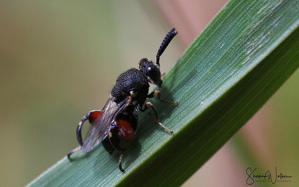 Tiny Bowlegged Wasp