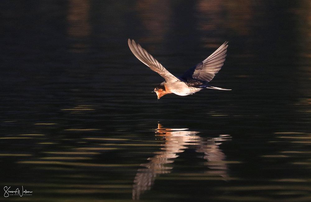 Welcome swallow feeding