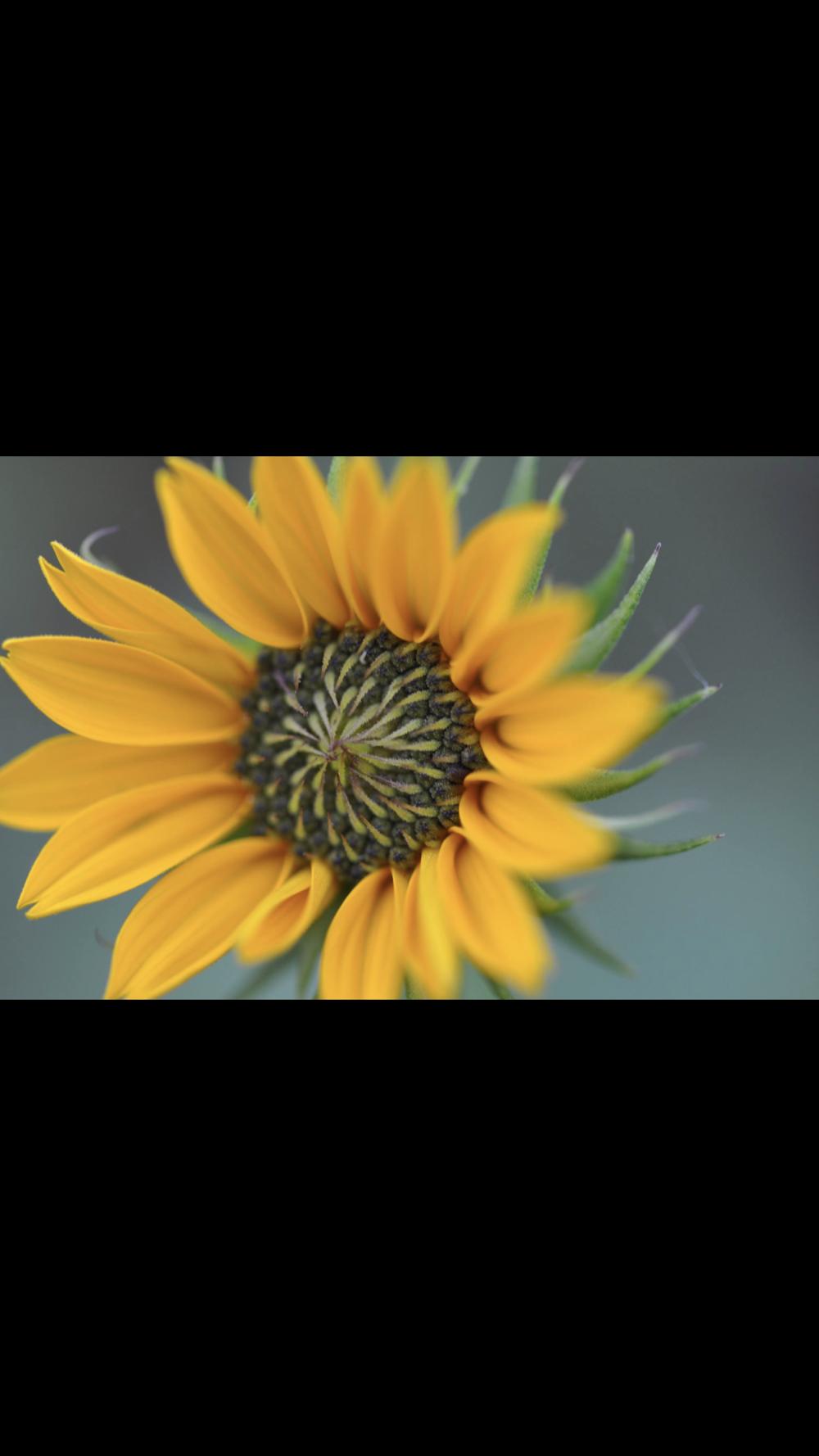 babysunflower.PNG